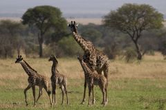 Animal sauvage en Afrique, stationnement national de serengeti photos stock