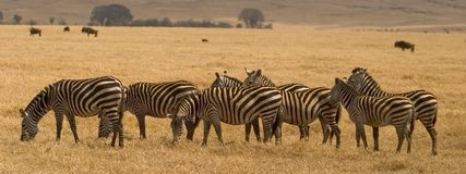 Animal sauvage en Afrique, stationnement national de serengeti photo libre de droits
