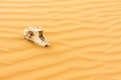 Animal scull in sand desert Royalty Free Stock Image
