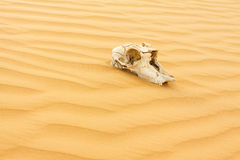 Animal scull in sand desert Royalty Free Stock Photo