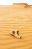 Animal scull in sand desert Royalty Free Stock Photography
