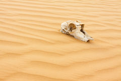 Animal scull in sand desert Royalty Free Stock Images