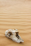 Animal scull in sand desert Royalty Free Stock Photos
