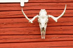 Animal Scull on the Wall. Animal Scull Hanging on the Red Wooden Wall Stock Images