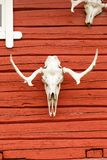 Animal Scull on the Wall. Animal Scull Hanging on the Red Wooden Wall Royalty Free Stock Images