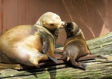 Animal, Sea Lion, Young Animal Royalty Free Stock Photo