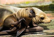 Animal, Sea Lion, Young Animal Stock Photography