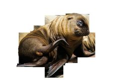 Animal, Sea Lion, A Young Sea Lion Stock Photos