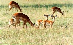 Animal selvagem em África Imagem de Stock