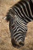 Animal selvagem em África, parque nacional do serengeti Fotografia de Stock