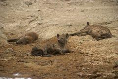 Animal selvagem em África, parque nacional do serengeti Fotos de Stock Royalty Free