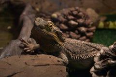 Animal selvagem exótico no terrarium - dragão de água imagem de stock