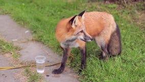 Animal selvagem macio ruivo do Fox com vidro com água no parque A cor do vermelho da pele, ata macio longo, focinho reduz por mui video estoque