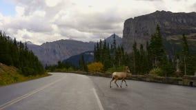 Animal selvagem Montana Wildlife Ram da estrada masculina do cruzamento dos carneiros de Bighorn vídeos de arquivo