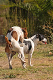 Animal sex. Two purebred jack russel terrier making love in a garden Royalty Free Stock Photos