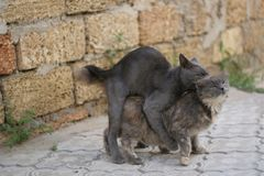 Mating cats  Stock Photography