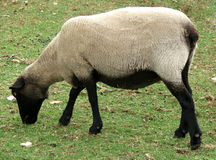 Animal - sheep. Black faced sheep royalty free stock photo