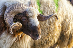 Animal Sheep Royalty Free Stock Images