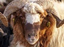 Animal Sheep Royalty Free Stock Photos