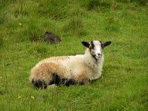 Animal. Sheep lying in green gras in Norway stock photo