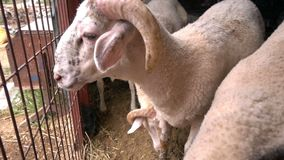 Animal Sheeps in Barn. And farming.Sheep fed and mammals stock video