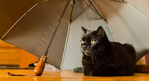 Animal shelter and pet adoption concept: a black cat is in safety at home under grey umbrella left by an owner in the hallway.  Stock Photo