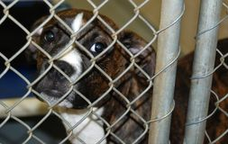 Animal Shelter Puppy. A cute, sad dog sitting in a kennel at an animal shelter Stock Photo