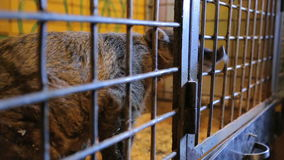 Animal shelter, raccoon, coati in a cage stock video