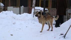 Animal shelter, volunteer hugging dog without leg stock video