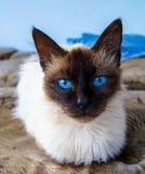 Animal siamese do gato Foto de Stock Royalty Free