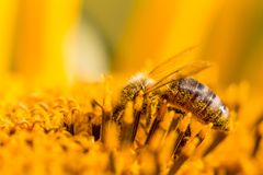 Honey bee covered with yellow pollen collecting nectar in flower. Animal is sitting collecting in sunny summer sunflower. Important for environment ecology Stock Photo