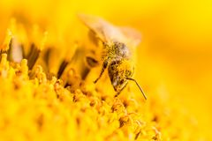Honey bee covered with yellow pollen collecting nectar in flower. Animal is sitting collecting in sunny summer sunflower. Important for environment ecology Stock Photos