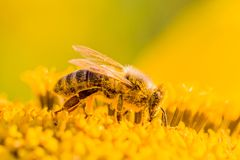 Honey bee covered with yellow pollen collecting nectar in flower. Animal is sitting collecting in sunny summer sunflower. Important for environment ecology Royalty Free Stock Image