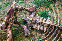 Animal skeleton eaten by scavengers carrion Stock Images