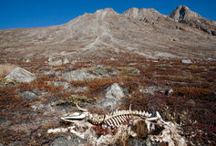 Skeleton in Greenland Stock Photography