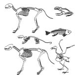 Animal skeletons Royalty Free Stock Images
