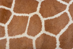Animal skin background of the patterned fur texture on an African giraffe Royalty Free Stock Photo