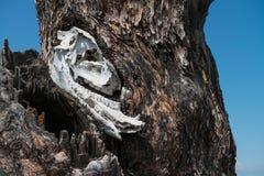 Animal skul. L in the tree Royalty Free Stock Photos