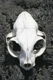 Animal Skull 02 Stock Photos