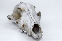 Animal Skull. Of a wolf or wild dog on a light background found in Ontario Canada stock image