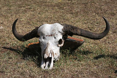 Animal skull Stock Images