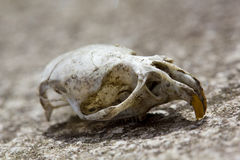 Animal skull Royalty Free Stock Photos