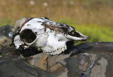 Animal skull. Skull of an animal on the field Royalty Free Stock Images