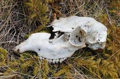 Animal skull Stock Image