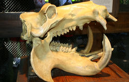 Animal skull. On the exposition royalty free stock photography