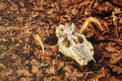 Animal skull in the autumn forest. Close view stock images