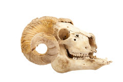 Animal skull with big horn Stock Photography