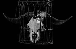 Animal skull with big horns Royalty Free Stock Image