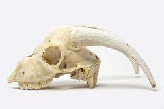 Animal skull with big horns Royalty Free Stock Photo