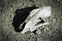 Animal skull,black and white Royalty Free Stock Images